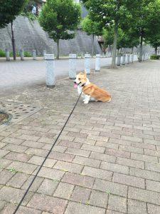 散歩の途中で座り込んで動かかないコーギーのはる
