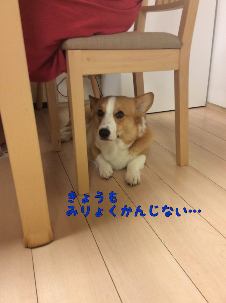 椅子の下でお利口に待っているコーギー