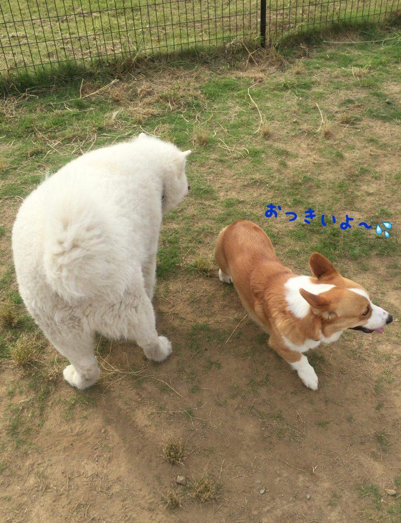 大きい犬と出会って逃げるコーギー