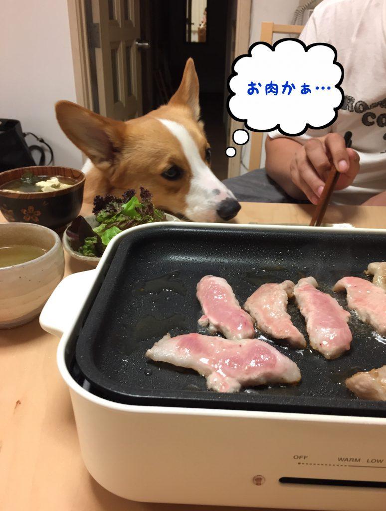 お肉が食べたいコーギー