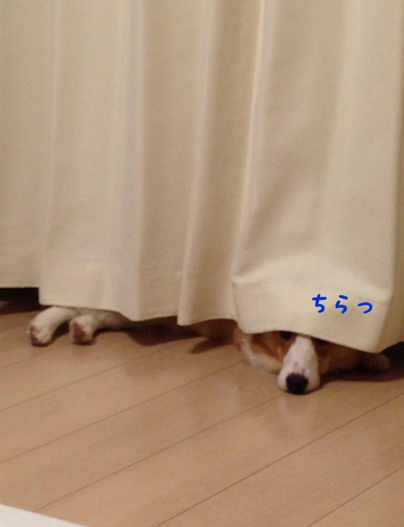 カーテンに隠れるコーギー