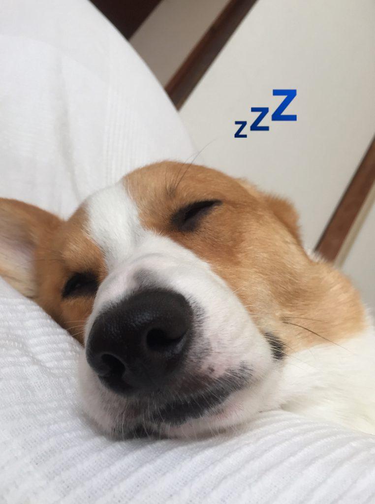 熟睡するコーギー