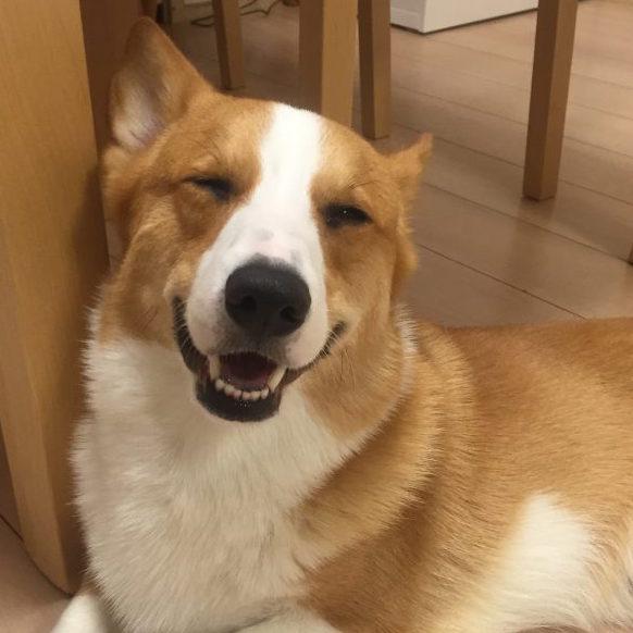 笑顔のコーギー