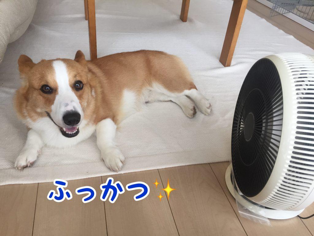 扇風機とコーギー