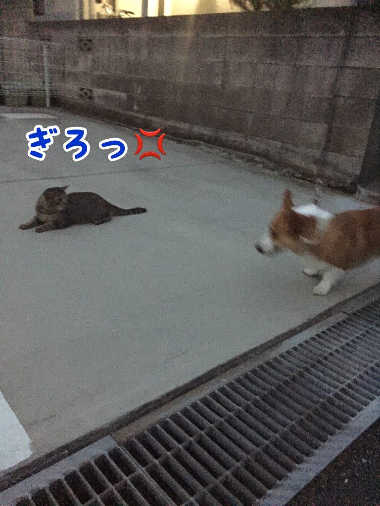 猫に睨まれるコーギー