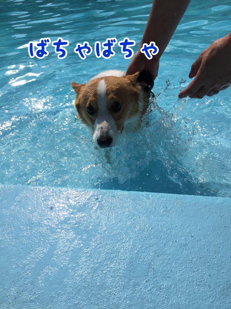 泳ぎの練習するコーギー
