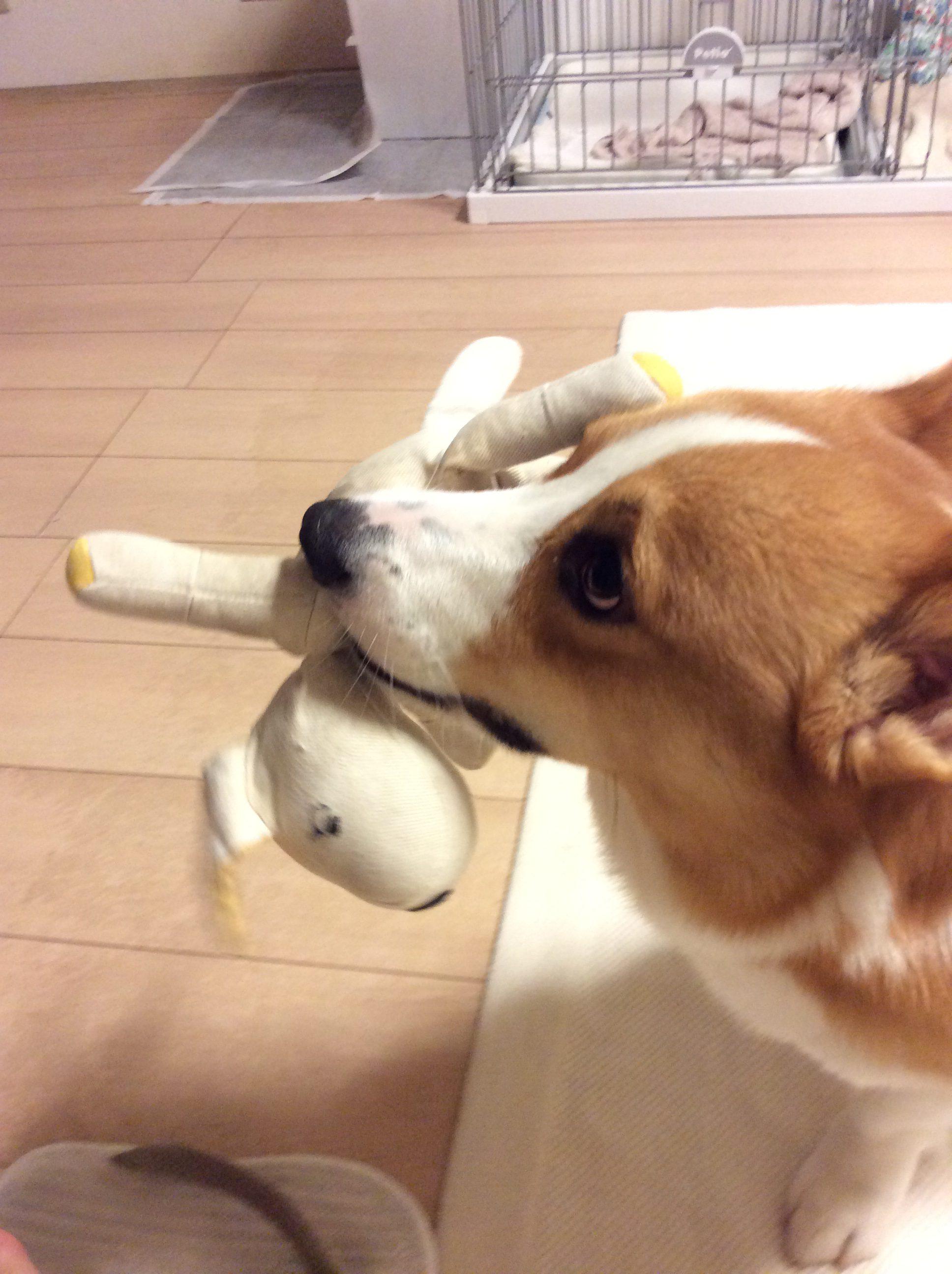遊んでとおもちゃを持ってくるコーギー