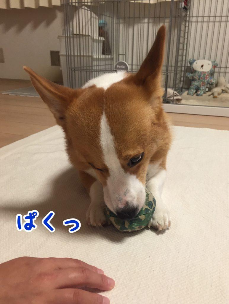 ボールで遊ぶコーギー