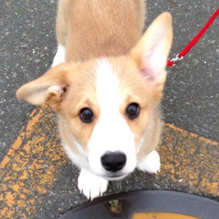初めてお散歩に行った時のちびはるコーギー