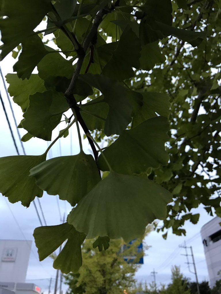銀杏の葉っぱ(雌の木)