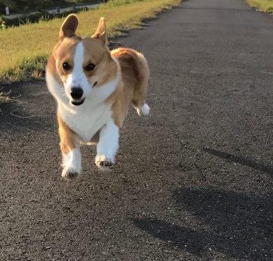 飛行犬になったコーギーのはる