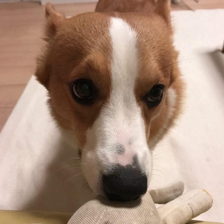 おもちゃをくれたコーギーのはるさん