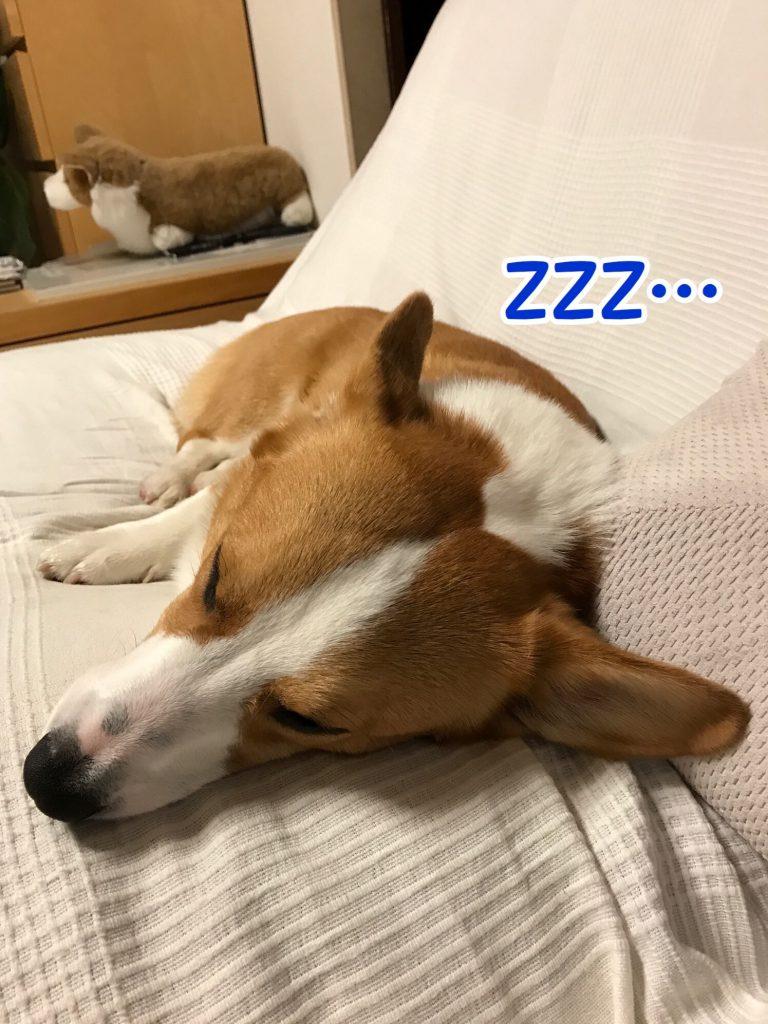 コーギーのはるさん熟睡中です