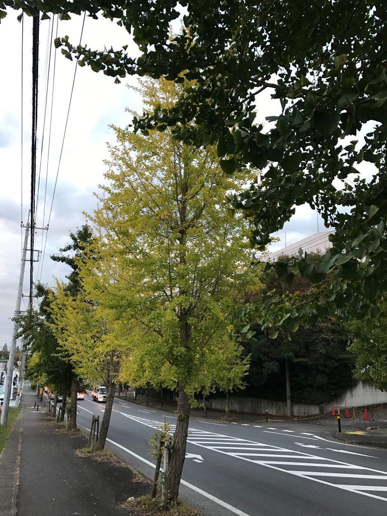 黄色く色づいた銀杏並木