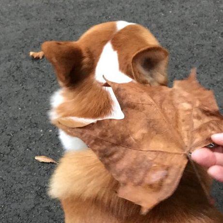 コーギーのはるの頭より大きな葉っぱを発見しました