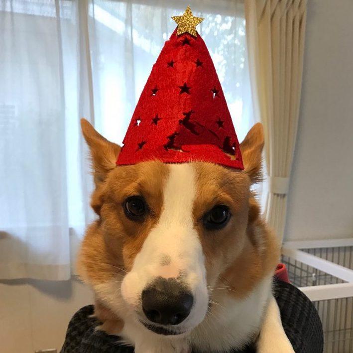 クリスマスバージョンになったコーギーのはる