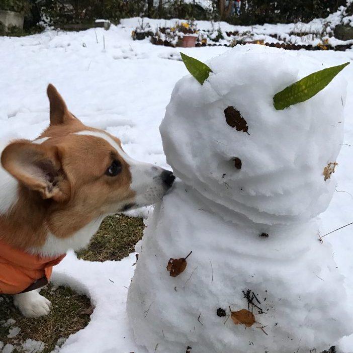 初めて見た雪だるまを不思議そうにクンクンするコーギーのはる