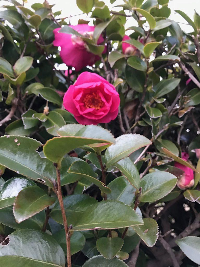 椿の花が綺麗です