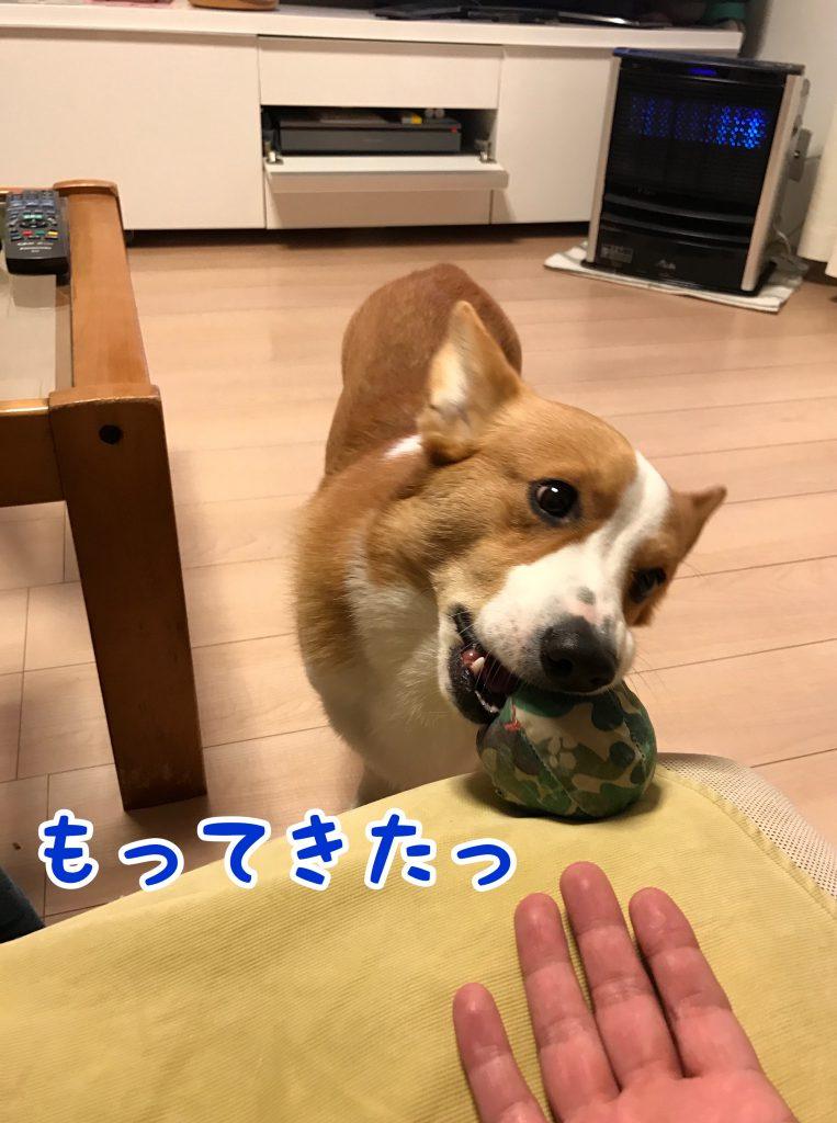 ボールを持ってきたコーギーのはるさん