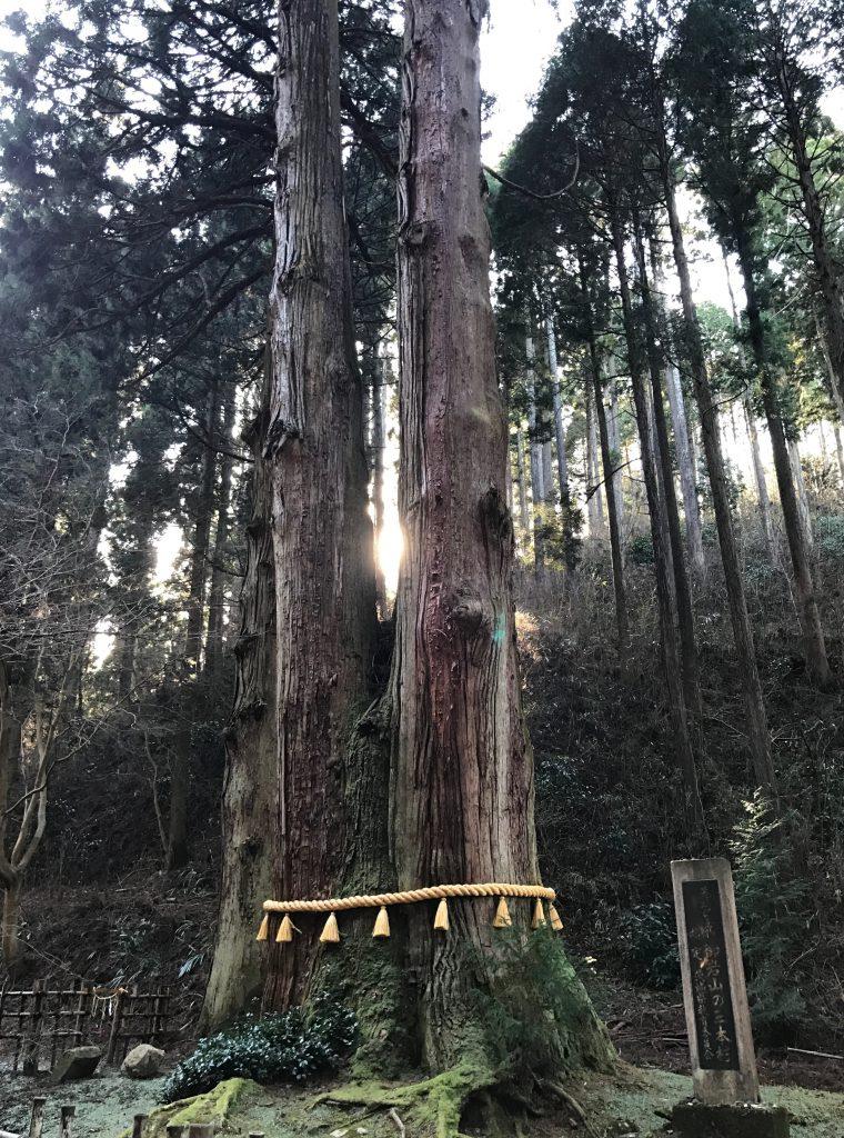御岩神社で有名な三本杉です