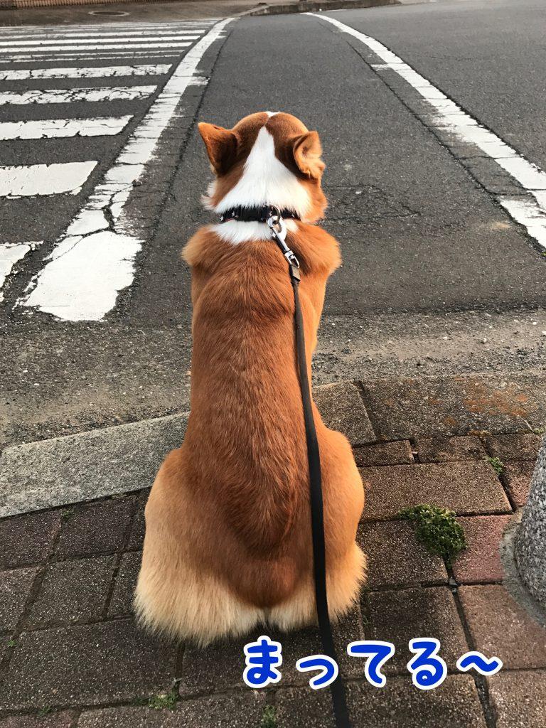 横断歩道でしっかりと待てるコーギーのはるさん