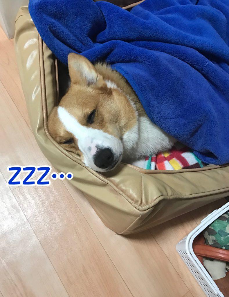 ベッドでぐうぐう寝ているコーギーのはるさん