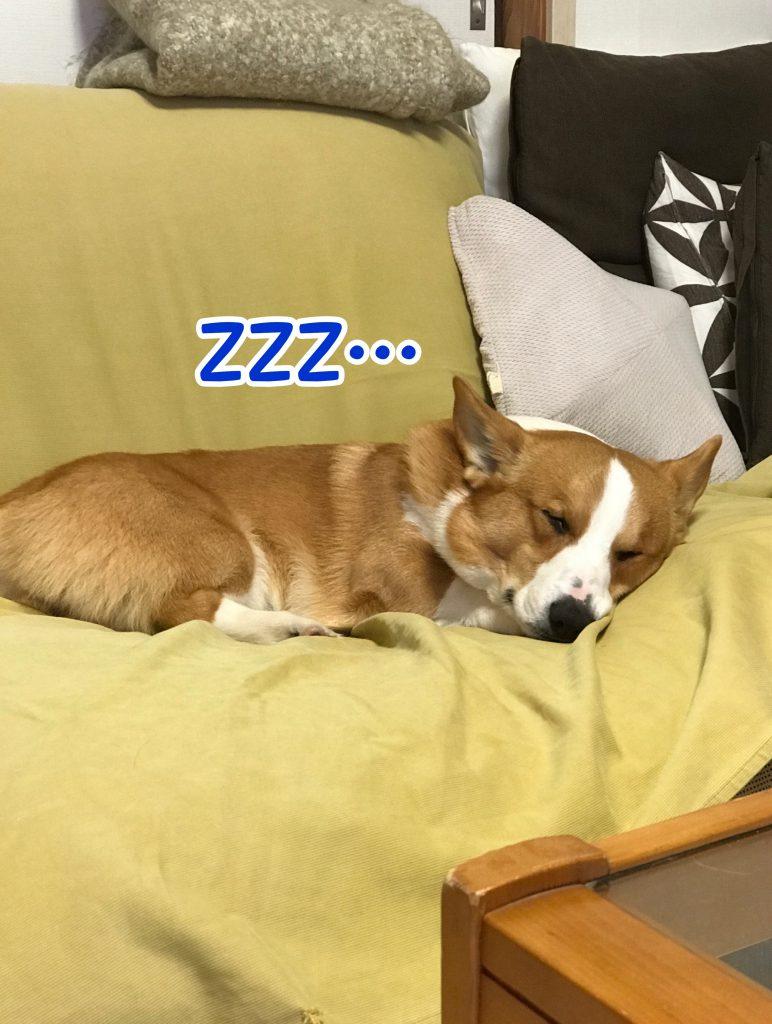 熟睡しているコーギーのはるさん