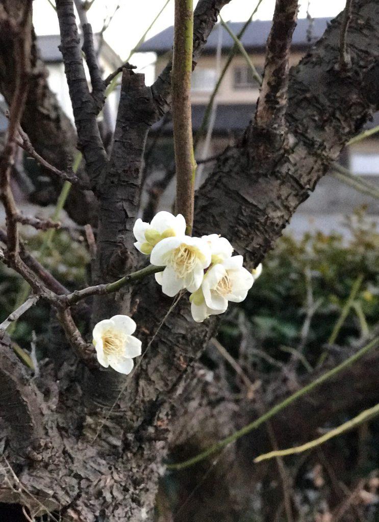 白梅も咲いています