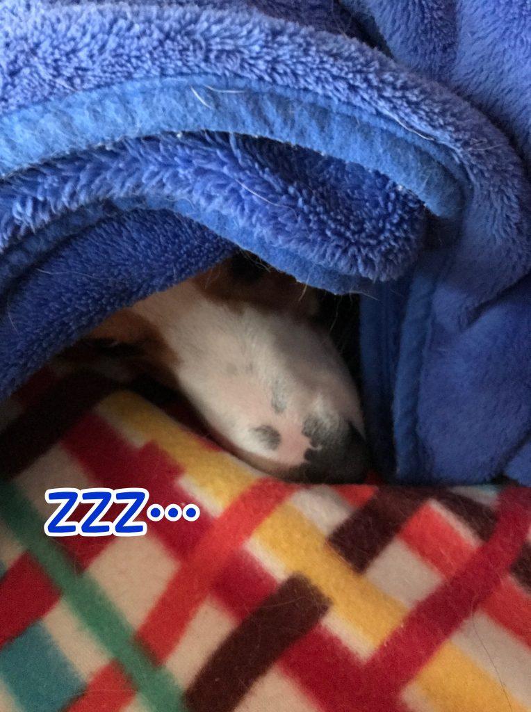 ブランケットを被ってぐうぐう寝ているコーギーのはるさん