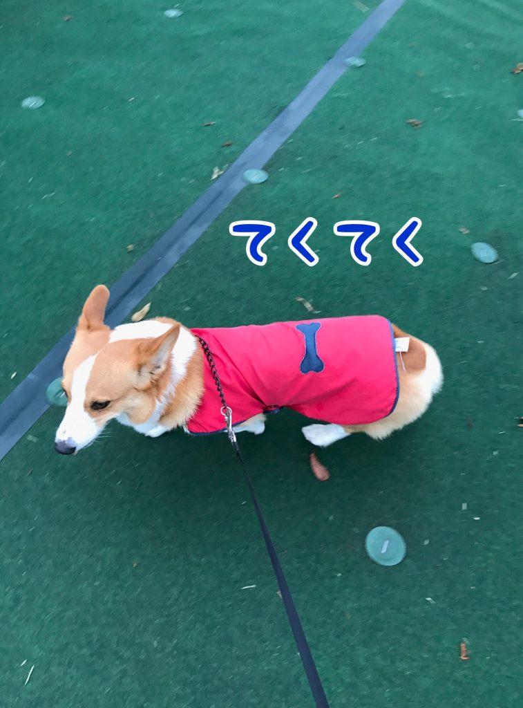 ここ数日寒いので早歩きでお散歩するコーギーのはるさんです