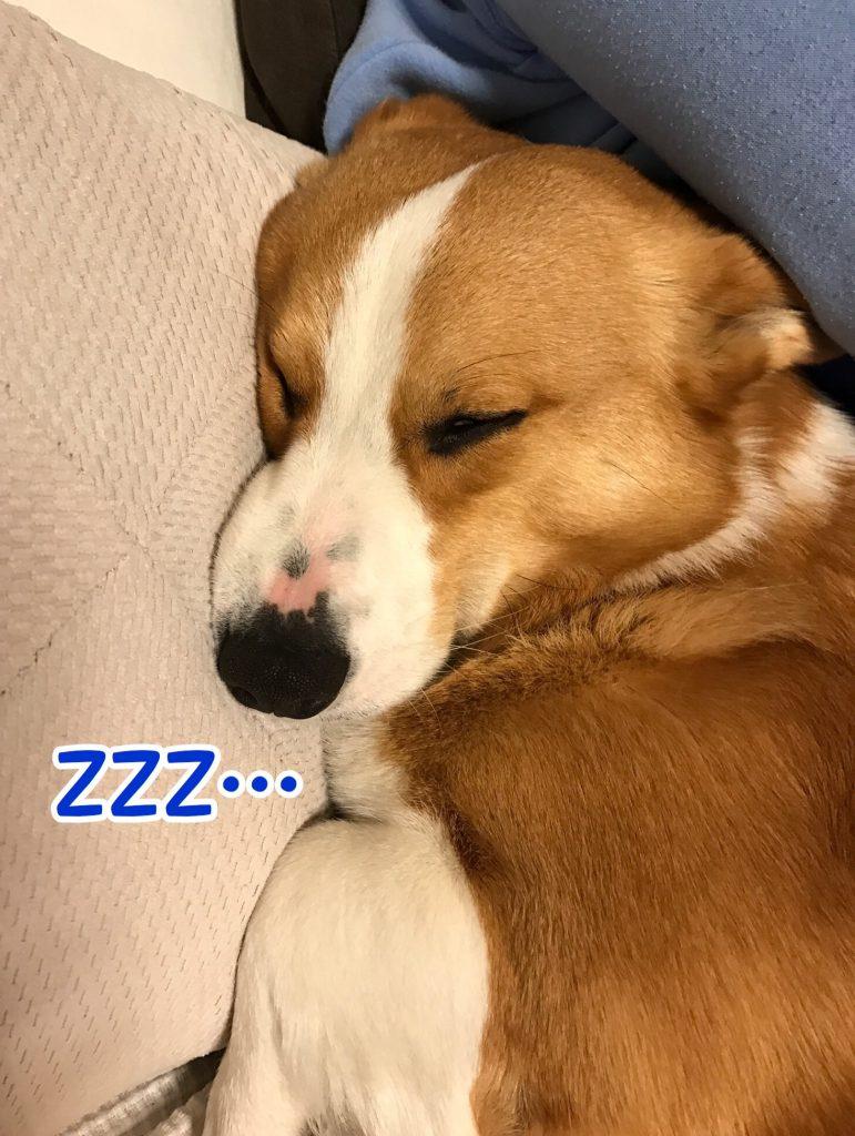 いっぱいお散歩に行って疲れて寝ちゃったコーギーのはるさん