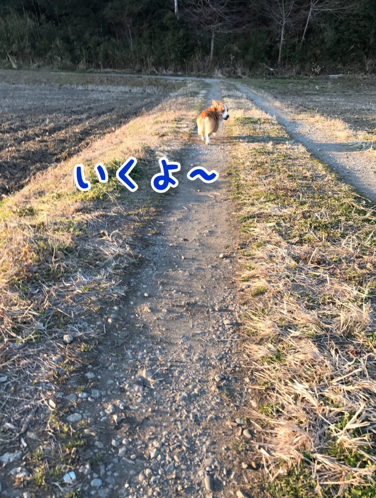 畦道をお散歩するコーギーのはるさん