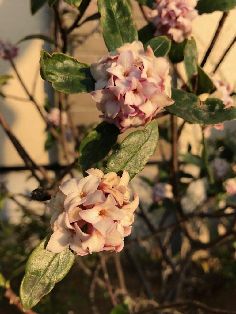 沈丁花も咲いてました