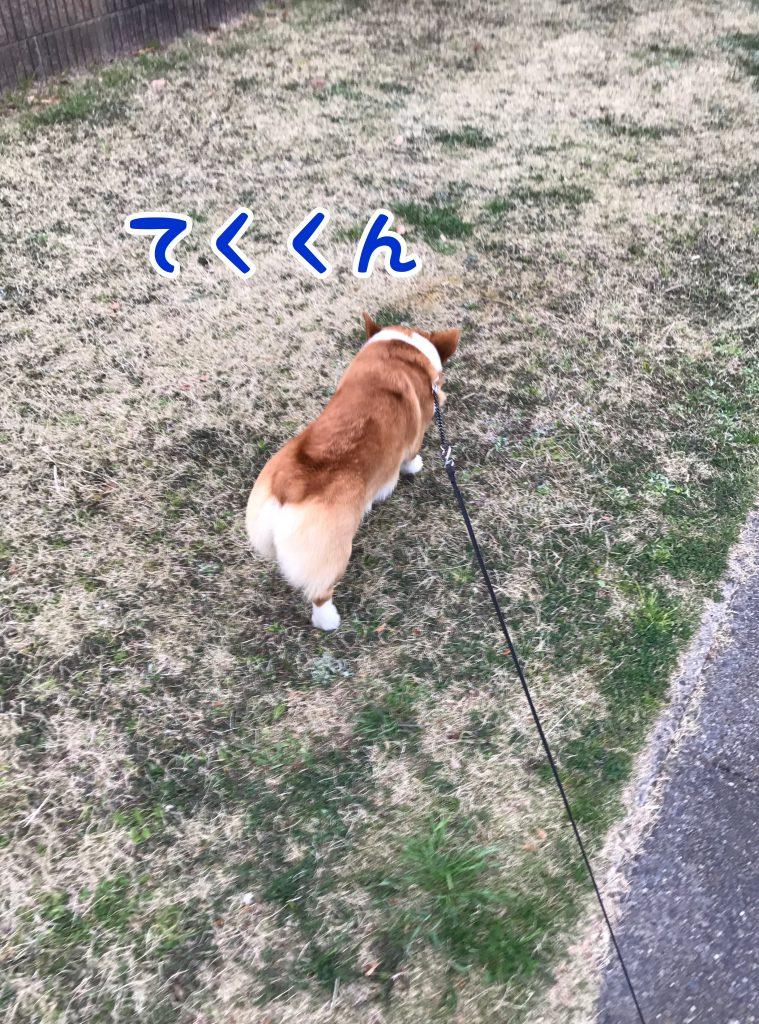 テクテクお散歩するコーギーのはるさん