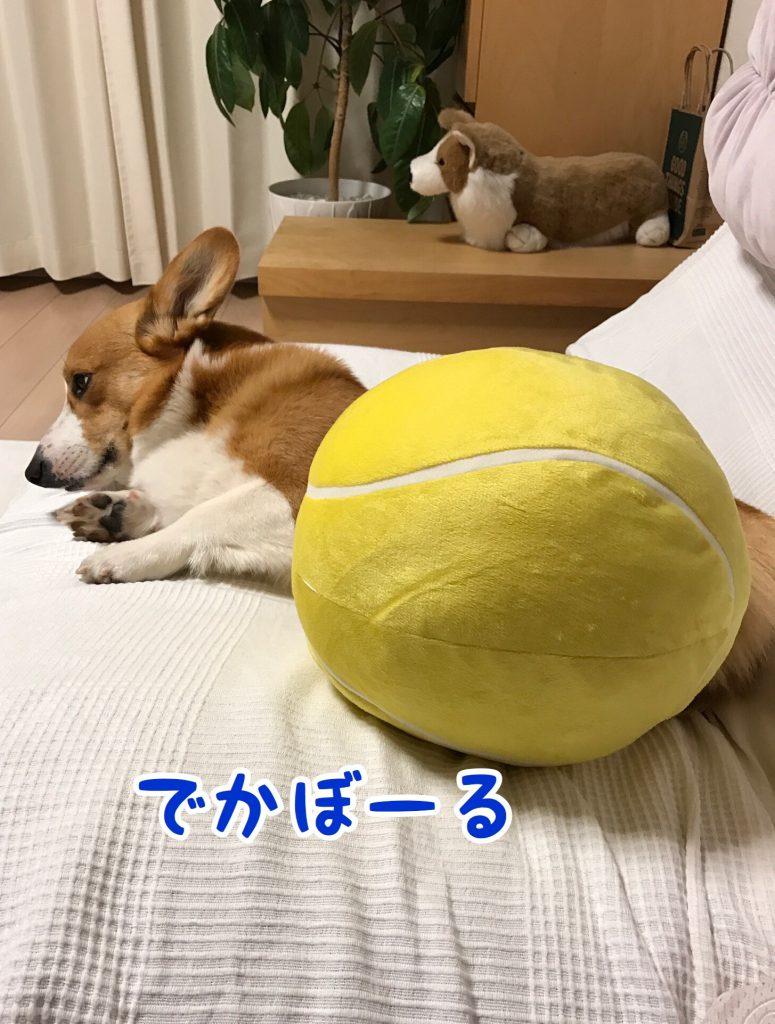 大きいテニスボールのクッションとコーギーのはるさん