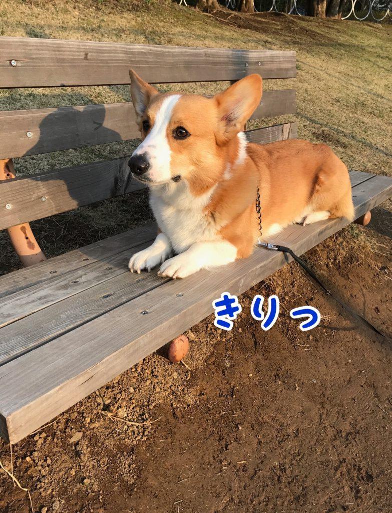 公園のベンチで一休みしているコーギーのはるさん
