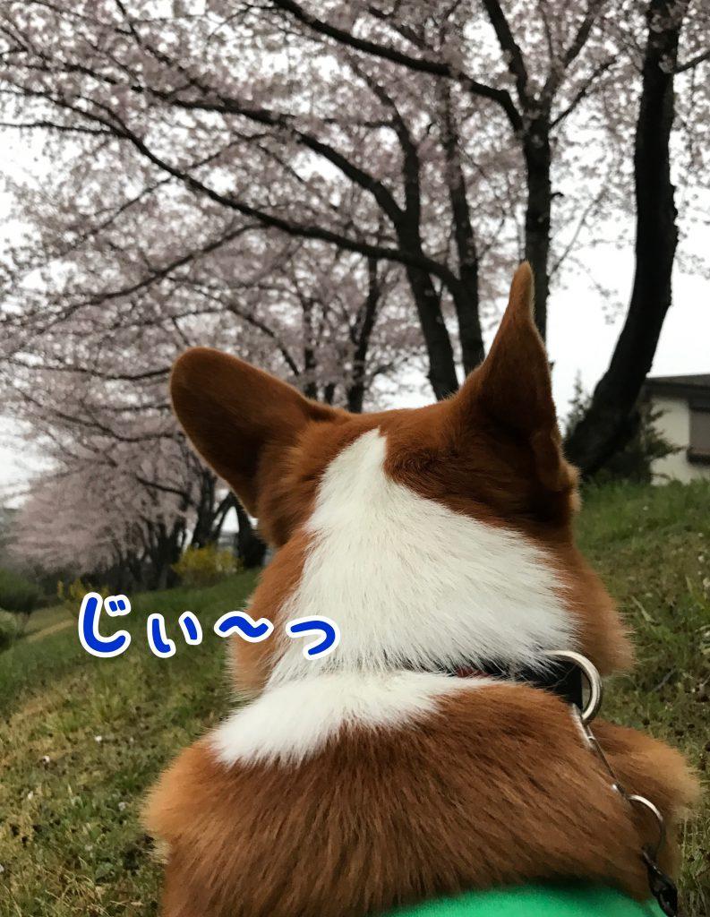 満開の桜をじ〜っと見つめているコーギーのはるさん