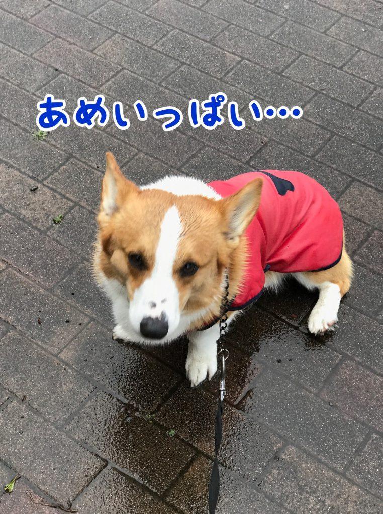 雨の中お散歩しているコーギーのはるさん