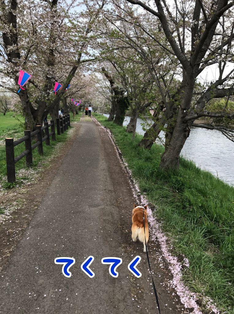 桜並木をてくてく歩くコーギーのはるさん