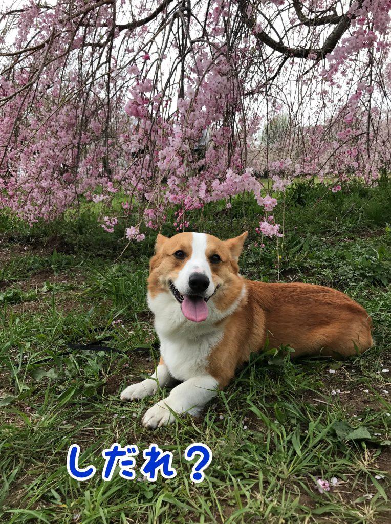 枝垂れ桜はまだまだ満開でした