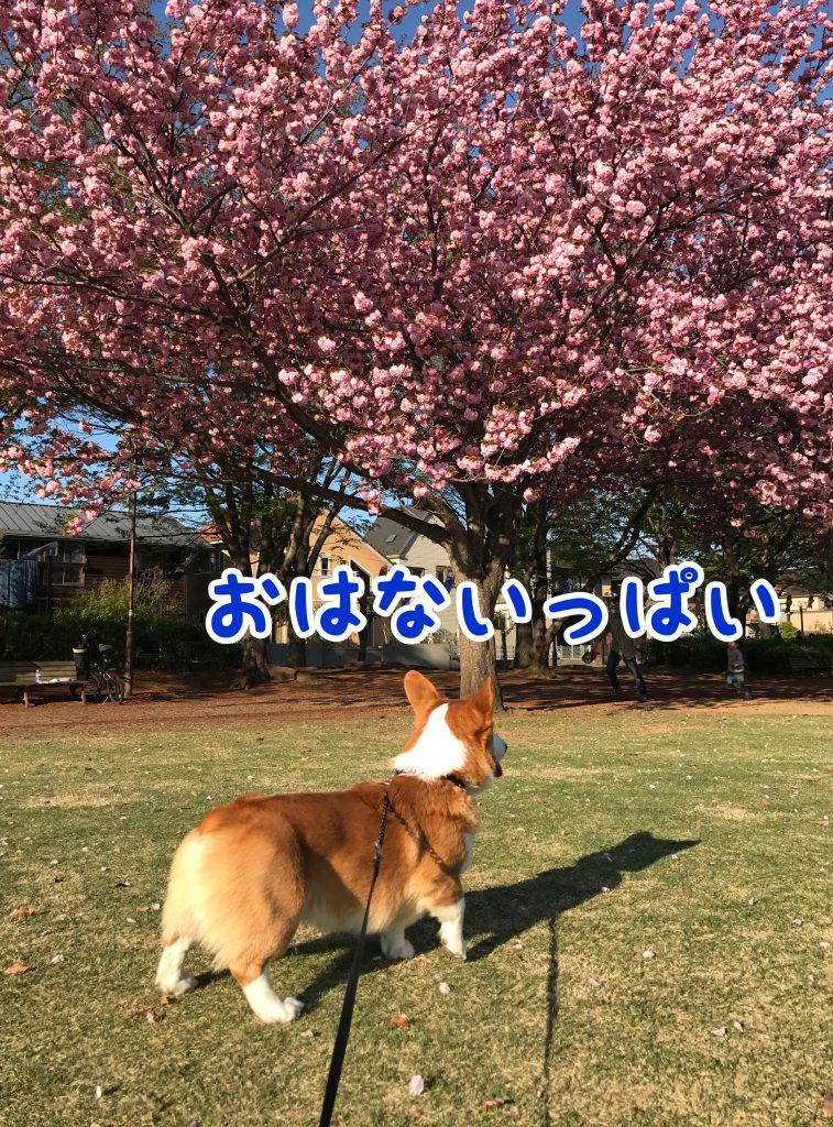 八重桜とはるさんを写真にパチリ