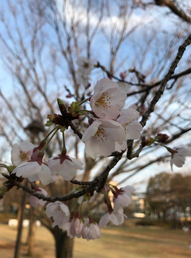 部分的には桜が開花しているところもありました
