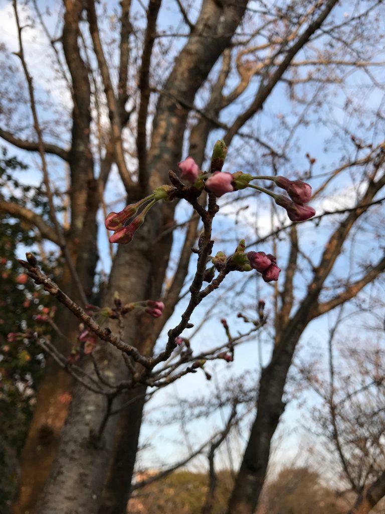 桜の蕾です。もうすぐ咲くかな?