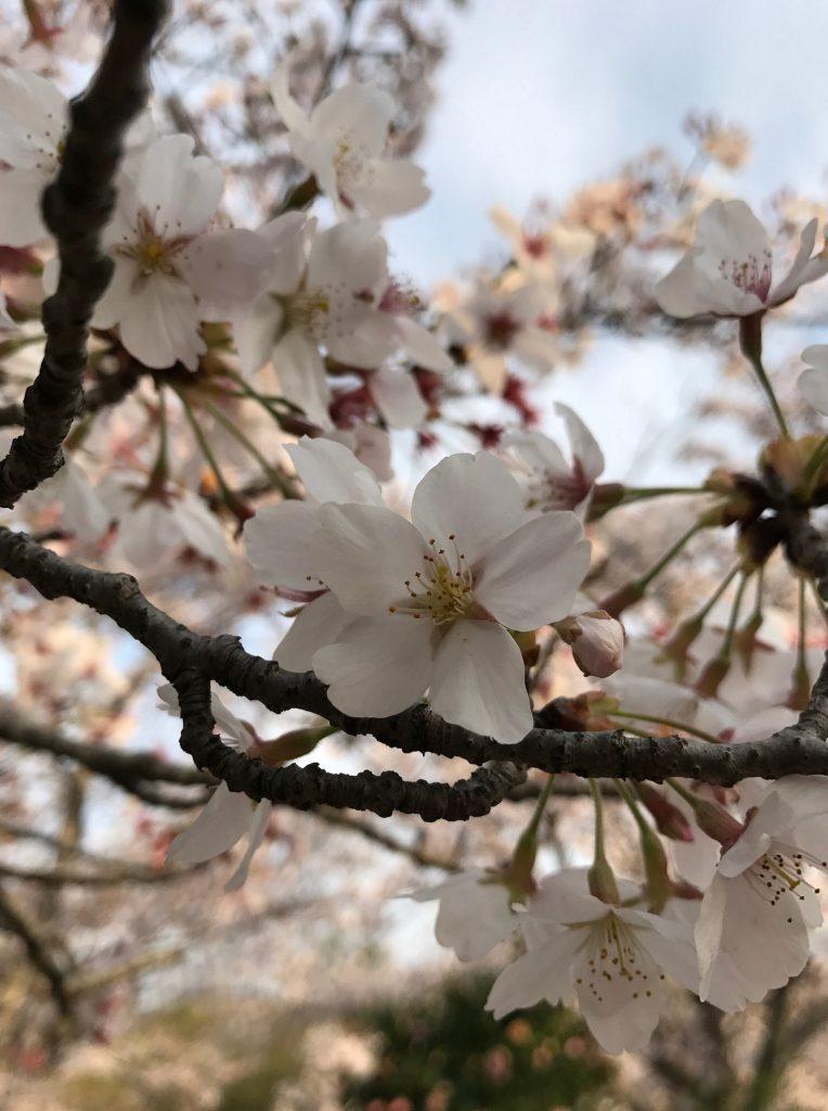今年の桜は長持ちな気がします