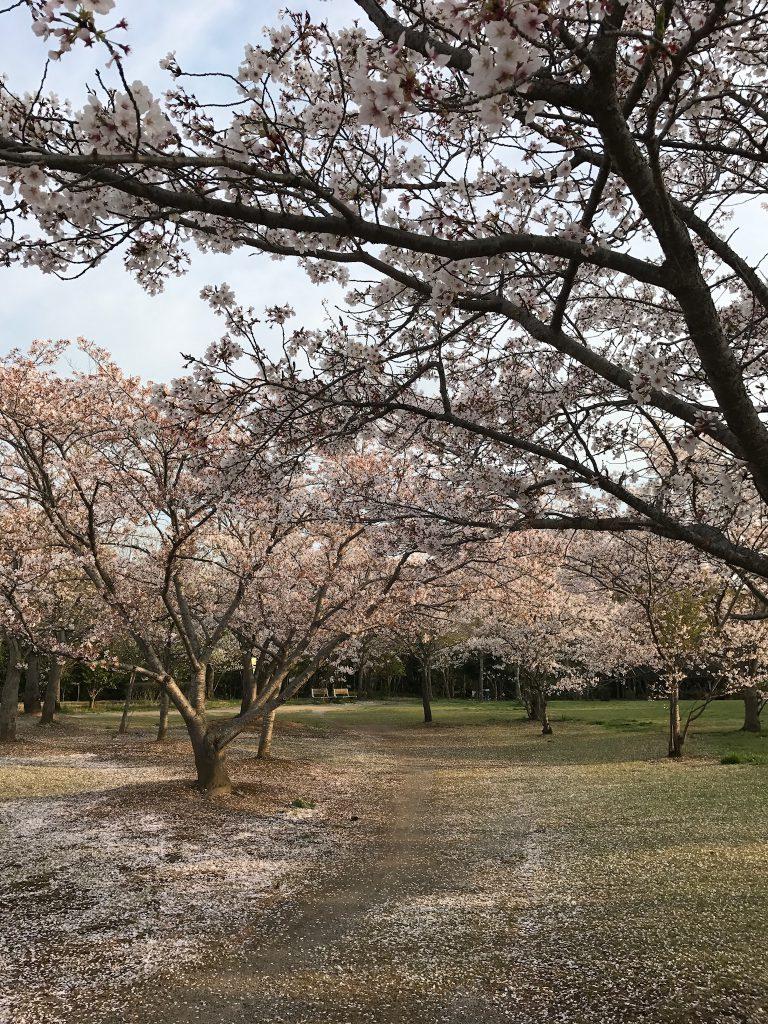 満開の桜がとても綺麗な公園でした