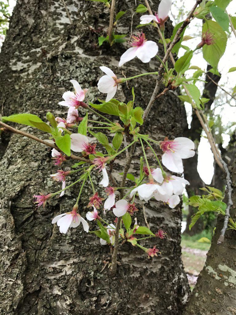 桜の花も散り葉桜になってきました