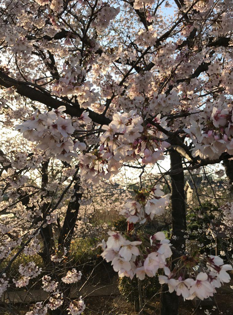桜が満開でした。綺麗だなぁ