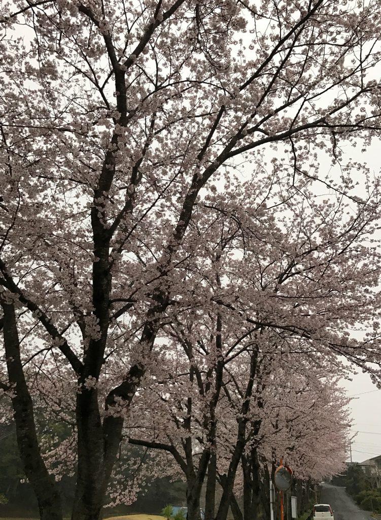 満開の桜並木です