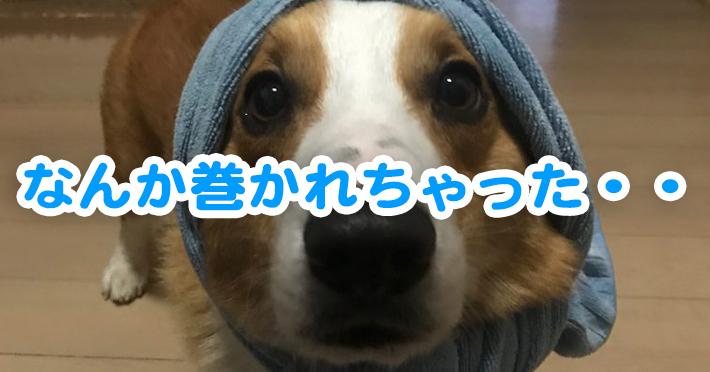 頭にタオルを巻かれて困っているコーギーのはるさん
