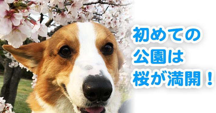 桜が満開の公園に来たコーギーのはるさん